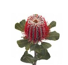 Mayesh Wholesale Florists -  Banksia Coccinea - After unpacking, always check the inflorescence for crushed or impacted flowers as damaged florets can rapidly turn black. Also look out for faded flowers that can indicate they have been stored. Remove lower foliage from stems, cut and place into a low sugar holding solution. Hold in coolers.