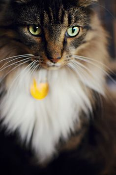 """majestic kitty named """"miko"""""""