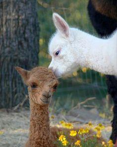 Busy with babies! by Walnut Creek Alpacas on Flickr
