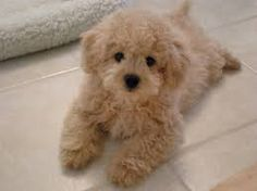 Many humans love getting a Poodle cross breed doggie as they're so cute and fluffy. Take a look at 16 of the cutest and fluffiest Poodle mixes below.