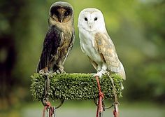 Barn owls, the right with normal coloration and the left melanistic coloration.