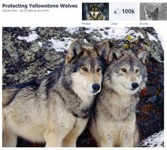 Protect Yellowstone Wolves