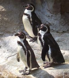 Top 10 Things to See at the St. Louis Zoo: Penguin & Puffin Coast