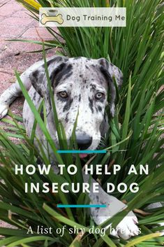 Do you have an insecure dog and don't know what to do about it? We tell you how to spot the signs of an insecure dog and what can cause it. We have some advice on how to help your dog feel more secure and how to train an insecure dog. Plus a list of shy dog breeds. Read our article now. #helpaninsecuredog #insecuredog #insecurityindogs #dogtraining