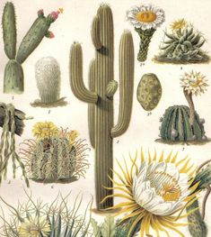 Cactus, Cacti, Saguaro Cactus, Queen of the night, Pink Easter Lily Cactus, Finger Cactus, Agave Cactus Original Antique Chromolithograph 1903