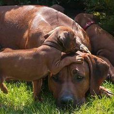 Rhodesian Ridgeback Puppies, Bloodhound Dogs, Boxer Mix Puppies, Dogs And Puppies, Lion Dog, Dog Cat, Thai Ridgeback, Large Dog Breeds, Wild Dogs