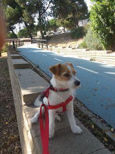 IZA Beagle Puppies, Chihuahua, Corgi, In Memorium, Parson Russell Terrier, Jack Russells, Fox Terrier, Scottish Terrier, Baby Dogs