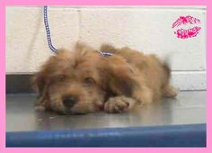 RILEY (A1715651) I am a female brown Terrier mix.  The shelter staff think I am about 14 weeks old.  I was found as a stray and I may be available for adoption on 08/07/2015. Miami Dade https://www.facebook.com/urgentdogsofmiami/photos/pb.191859757515102.-2207520000.1438541760./1021762127858190/?type=3&theater