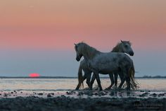 Camargue stallions - Camargue stallions playing at sunrise