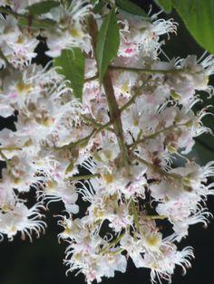 Kastanienblüte der Gemeinen Rosskastanie (Aesculus hippocastanum)