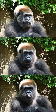 Make a face! #Gorilla #Animal #Humor