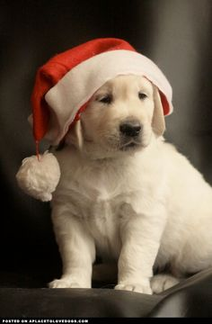 Christmas Puppy • from APlaceToLoveDogs.com • dog dogs puppy puppies cute doggy doggies adorable funny fun silly photography