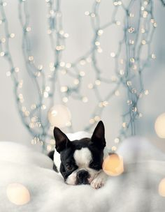 boston terrier with xmas lights