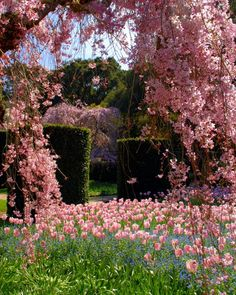 Beautiful cherry trees and pink tulips.