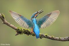 Kingfisher by stevemackayphotography http://ift.tt/1yffKgP