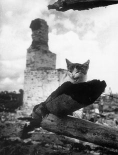 Cat with a bullet through its ear, 1943