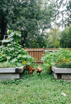 Raised beds. Backyard chickens.