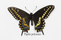 North American Black Swallowtail Butterfly, Papilio polyxenes, photograph by:  Darrell Gulin