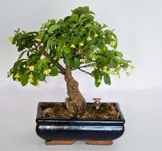 chilli plant bonsai - Penelusuran Google