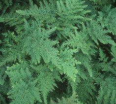 Selaginella braunii|Juniper Level Botanic Gdn, NC|