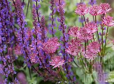 SALVIA MAINACHT AND ASTRANTIA