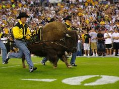 University of Colorado Buffalos -- Ralphie (mascot) Charges the Field. Boulder, Colorado by Alex Benison