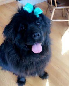 Whats not to love about a newfie wearing a bow and giving high fives? #mybaby #springfashion #ootd #freshbow #newhairwhodis #springfashion #cute #cutenessoverload #love #happiness #highfive #newfoundland #barkbuds #gentlegiant #gentlegiantoftheday #newfielife #newfie #largebreed #largebreedlove #dogs #dogsofinsta #dogsofinstgram #buzzfeed #buzzfeeddogs #buzzfeedanimals #targetstyle #targetdog #targetkids