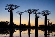 Baobab Avenue, un tratto di strada in Madagascar occidentale.