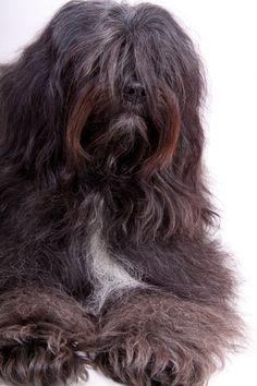 Breeder Buzzwords – The Tibetan Terrier    By Dan Sayers
