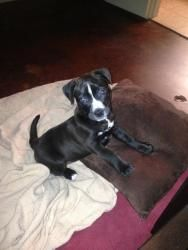 Horace is an adoptable Pit Bull Terrier Dog in Tulsa, OK. Horace is a male, black and white pit bull/shar pei mix puppy. Horaces estimated date of birth is February 11, 2013. Horace and his two sibli...
