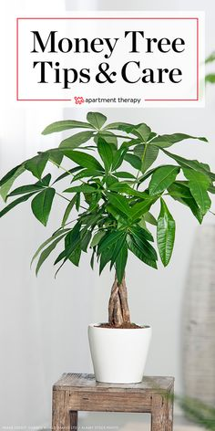 The Easy-to-Grow Money Tree is Also Considered Very Lucky Money Tree Plant Care - Growing Plants Ind Money Tree Plant Care, Tree Care, Indoor Trees, Best Indoor Plants, Indoor Flowers, Ficus, Pachira Aquatica, Lucky Plant, Growing Plants Indoors