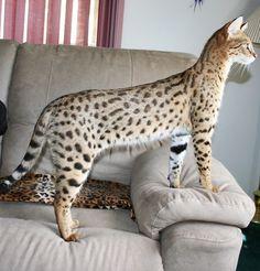 savannah cat - Google Search