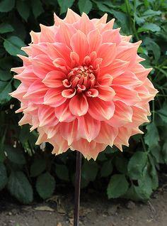 """'Summer Beauty' #dahlia. 9"""" blooms."""