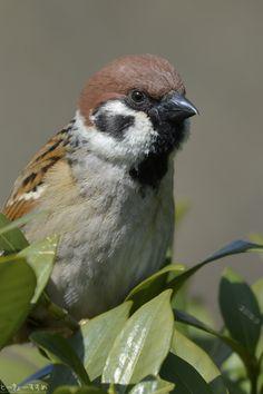 ほっぺがプクーッてなってるのは、パン食べ過ぎたからじゃないよっ! #スズメ #Sparrows #鳥 #Birds #東京 #写真好きな人と繋がりたい