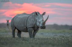 Photo White Rhino by Hendri Venter on African Elephant, African Animals, African Rhino, African Safari, Wildlife Photography, Animal Photography, Beautiful Creatures, Animals Beautiful, Animals And Pets