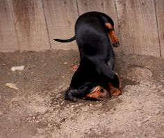 digging dachshund~looks like Missy