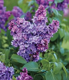 The Rouen lilac (Syringa × chinensis) A natural cross between the cutleaf and the common lilac, it's heavily perfumed and hardy to Zone 3. Producing few suckers, and possessing good disease resistance, despite its botanical name it has no connection to China.