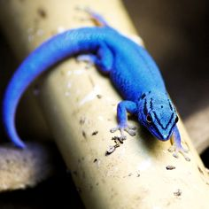 the Electric Blue Gecko (Lygodactylus Williamsi) is found in the Kimboza Forest of eastern Tanzania. Males are bright blue and females range from brown or bronze to bright green.