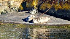 Harbour Seals in the Gorge