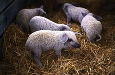 baby-mangalica.png (515×338)