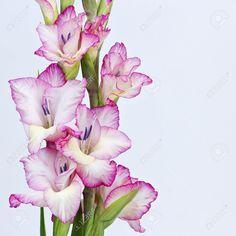 14302646-pink-gladiolus-Stock-Photo-gladiolus.jpg (1300×1300)