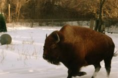 buffalo..i think this is the most beautiful animal ever