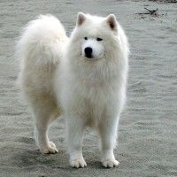 : Dog Samoyed 2