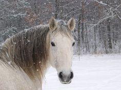 Les fonds d'écran - La tête d'un cheval blanc sous la neige