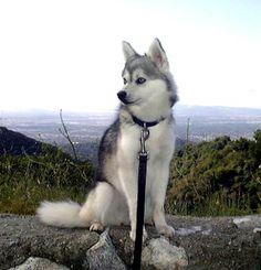 Alaskan Klee Kai. She will be mine!! SOMEDAY!