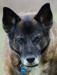 Welcome! is an adoptable Belgian Shepherd Malinois Dog in Inverary, ON. Hi, My name is Sheba, I am the inspiration for this Haven, please see my story on the main page. Sheba's Haven solely depends on...