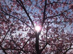 太陽と河津桜