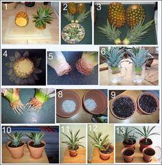 Aprenda aplantar abacaxia partir de outro. Você pode plantar emcasa, dentro de umvaso.    Você sabia que pode ter um ciclo infinito de abacaxis em casa? Retirando a parte das