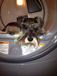 This little mini Schnauzer loves to sit in the dryer after it stops because he know the cloths are warm, he is just a puppy because his eyebrows are white now. But still loves to sit with dryer door open on the warm cloths, I only showed him once that the cloths were warn when the buzzer went off so when he hears the dryer buzzer he runs to the Landry room and sits by the dryer!! I Love my little baby so much  Zackary