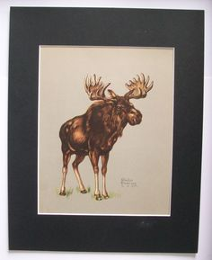 Moose Print Gladys Emerson Cook Huge Rack Wild Animal Colored Bookplate 1943 11x14 Matted by VintageVaultPrints on Etsy